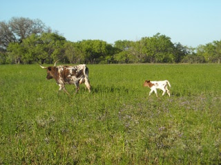 Longhorn Cow Holga with Her New Heifer Calf Rafaela