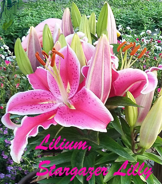 Lilium Giant Lily Stargazer Bulbs 3 Bulbs and Instructions | Etsy