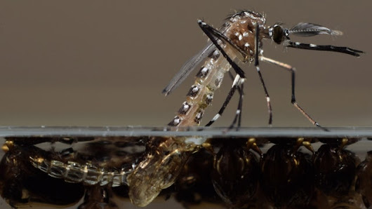 FDA could set millions of genetically modified mosquitoes loose in Florida Keys