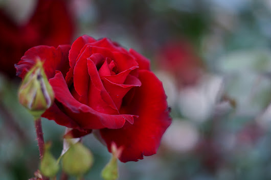 Scientists Made an Electronic Circuit Inside a Rose