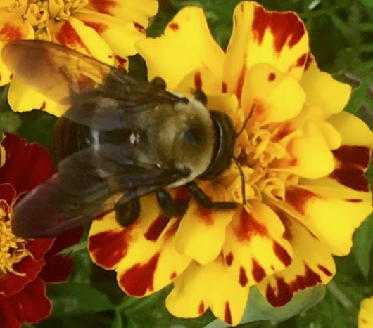 A Bee and a Marigold