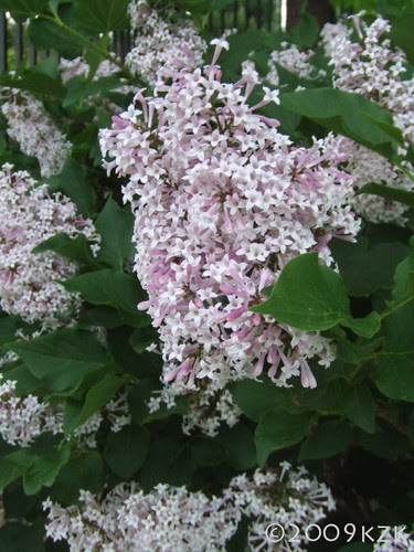 Miss Kim Lilacs, full bloom