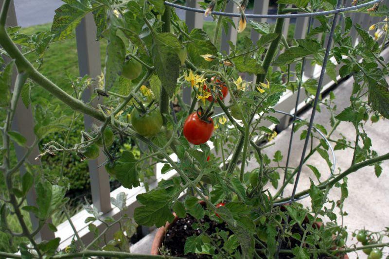Ripe tomato