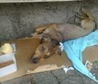 Cadela espera em hospital por dono falecido (Reprodução/Gazeta Online)