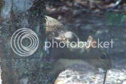 Wolfworm