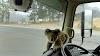 Pequeño koala se cuela en un camión suplicando ayuda tras lograr escapar de los incendios