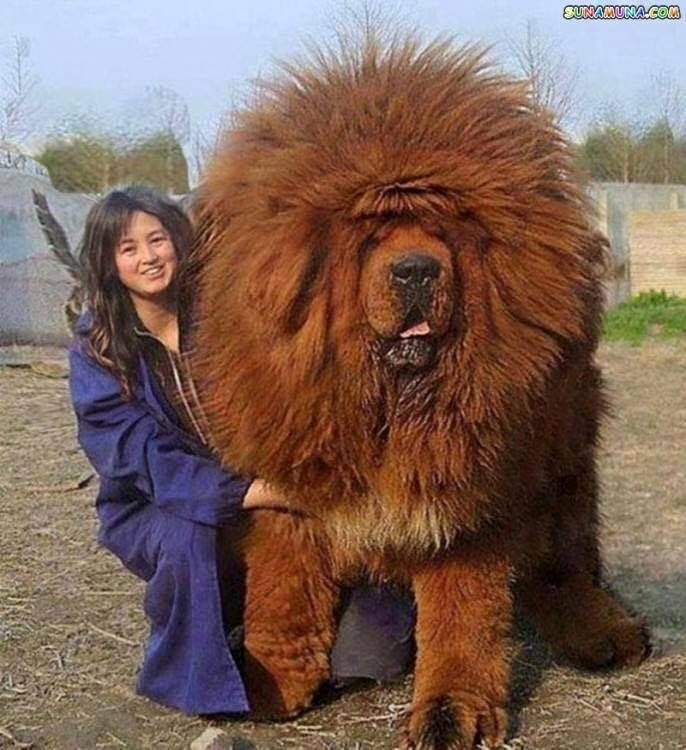 chien gros énorme chowchow