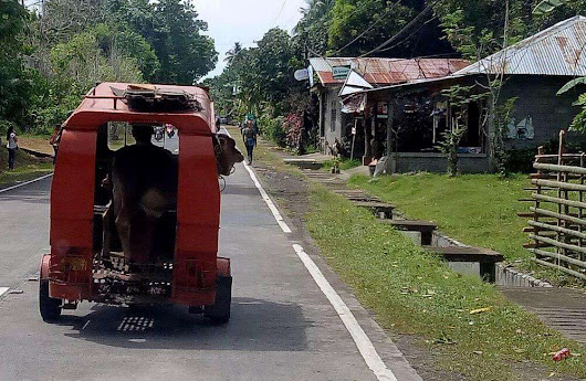 Cow Transport! Via A Tricycle! | The Travel Tart Blog