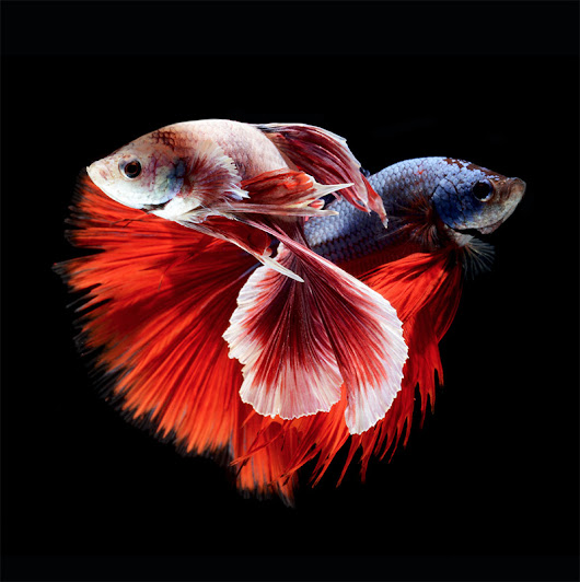Stunning Portraits of Siamese Fighting Fish by Visarute Angkatavanich | Colossal