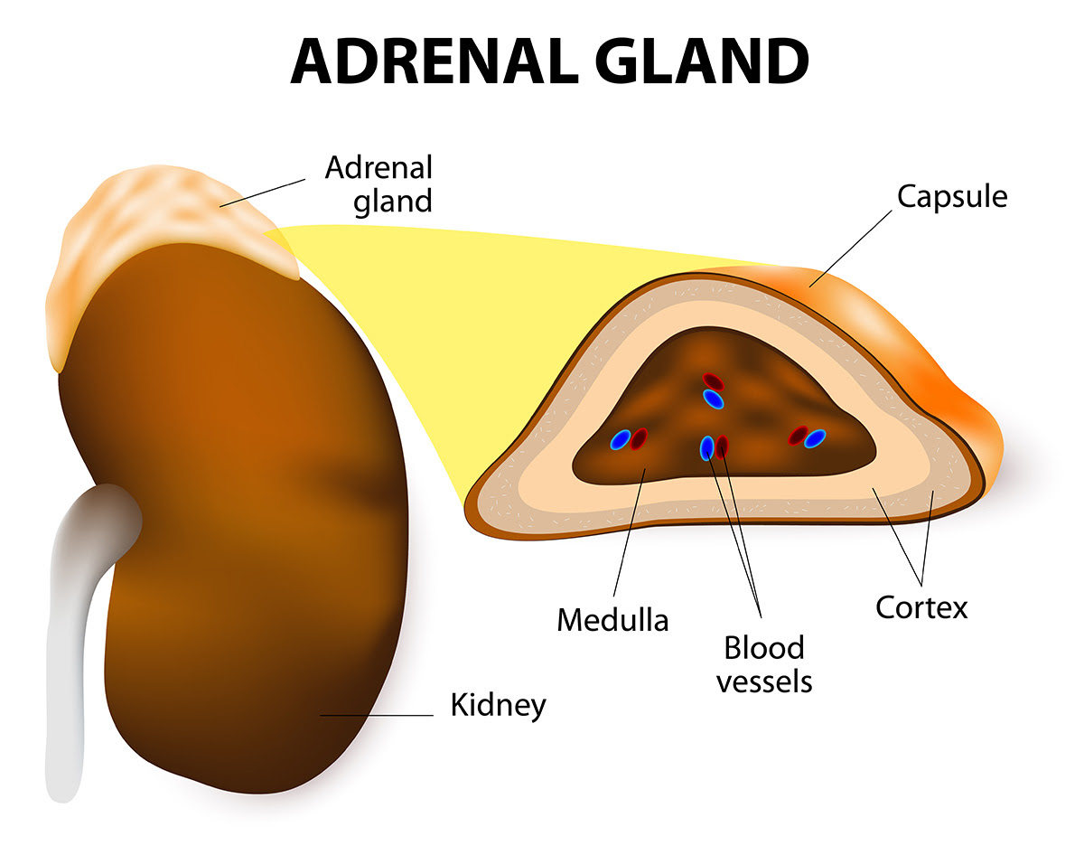 adrenal gland diagram