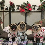Greta, Bailey and Hazel - The Pugs at Idaho Ranch