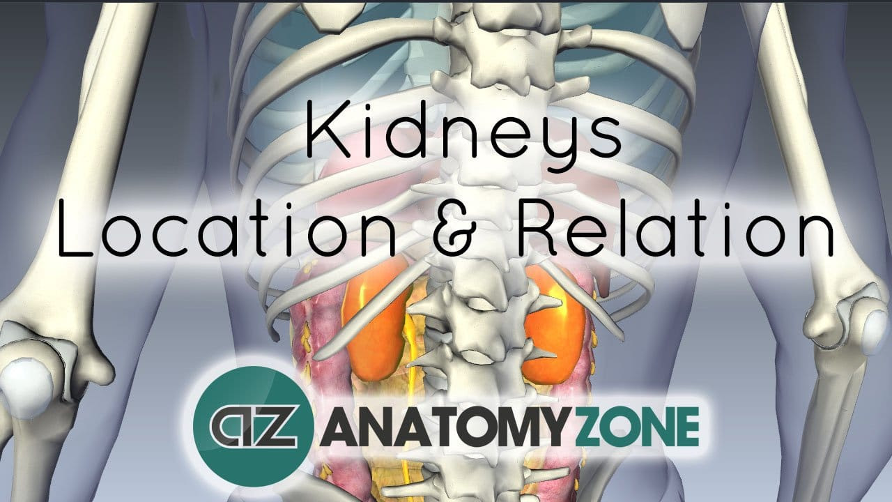 Location and Relations of the Kidney 3D Anatomy Tutorial