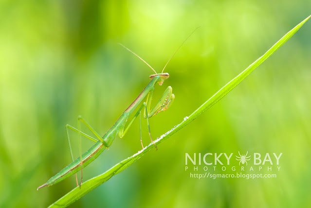Praying Mantis (Mantodea) - DSC_1502