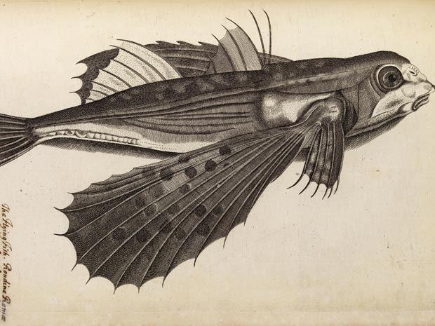 """Uma imagem divulgada nesta quarta-feira (18) mostra uma gravura do século 17 de um peixe voador de John Ray e Francis Willughbys encontrada no livro """"História dos Peixes"""", datado de 1686. A gravura de 300 anos será apresentada na biblioteca da Royal Society, a academia britânica de ciências, nesta quinta-feira (19).  (Foto: Richard Valencia / Royal Society / AFP)"""