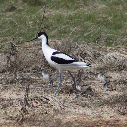 The awesome avocet