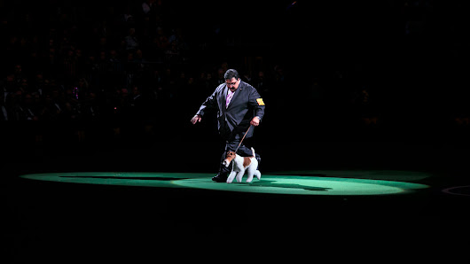 Sky, Wire Fox Terrier and Veteran Show Dog, Wins at Westminster