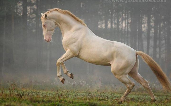 Another Akhal-Teke horse, animal horse