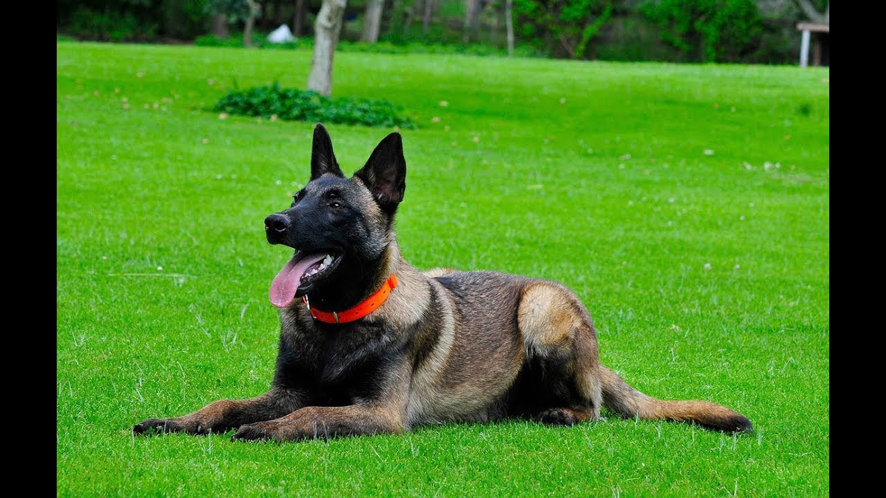 Basic Obedience Training Belgian Malinois for sale 786-206 ...