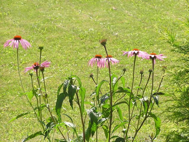 Echinacea 'Rubinstern'