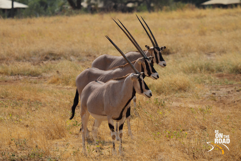 Beisa Oryx and their stunningly distinctive horns