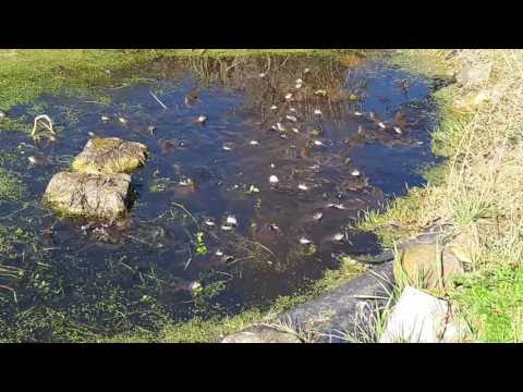 Frogs video