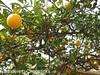 Day 31 Meyer Lemons