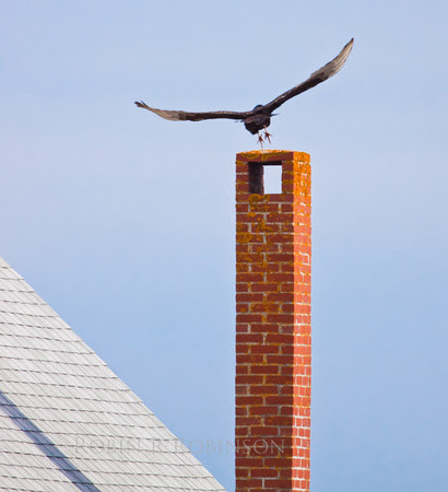 Turkey Vulture, Chimney Top Take Off
