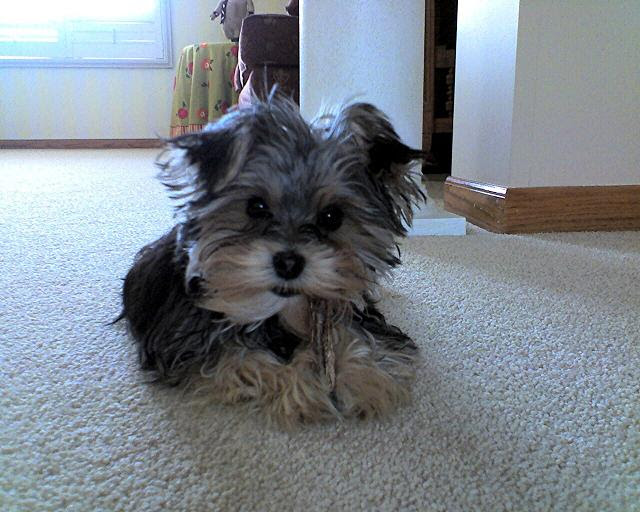 Funny Yorkie Puppies For Sale In Kansas