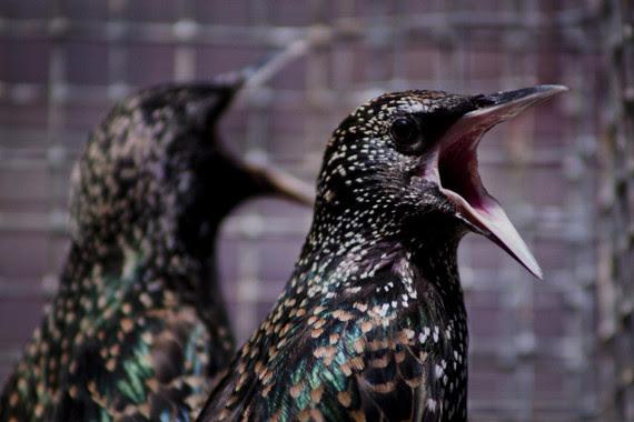 <p>Mudar el plumaje puede ayudar a los pájaros a lidiar con los contaminantes ambientales. / Margaret Whitney</p>