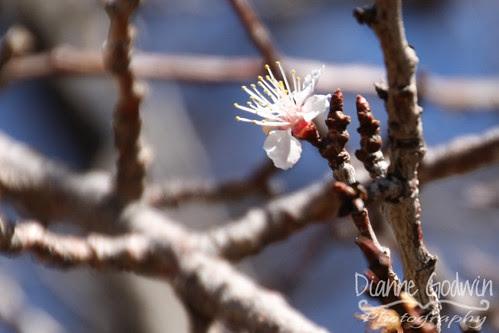 apricot_blossom_crop
