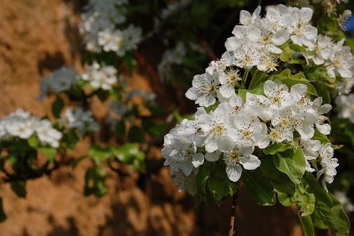 applepear blossom