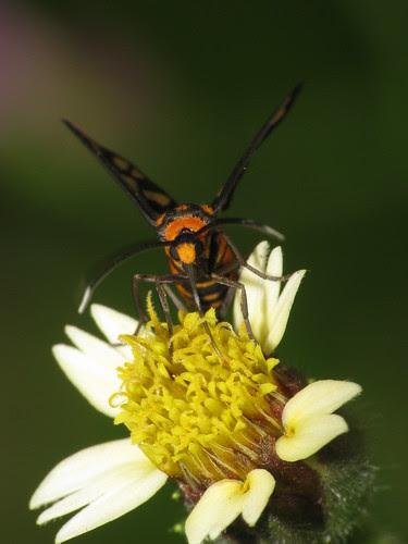 Day flying moth (Syntomis huebneri)