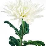 USA Bouquet Spider Mums - White - 90 Stems