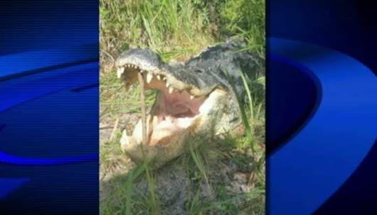 Gator kills alleged thief hiding from police