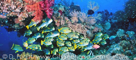 2015 Indonesia Liveaboard Trips in Raja Ampat: City Seahorse