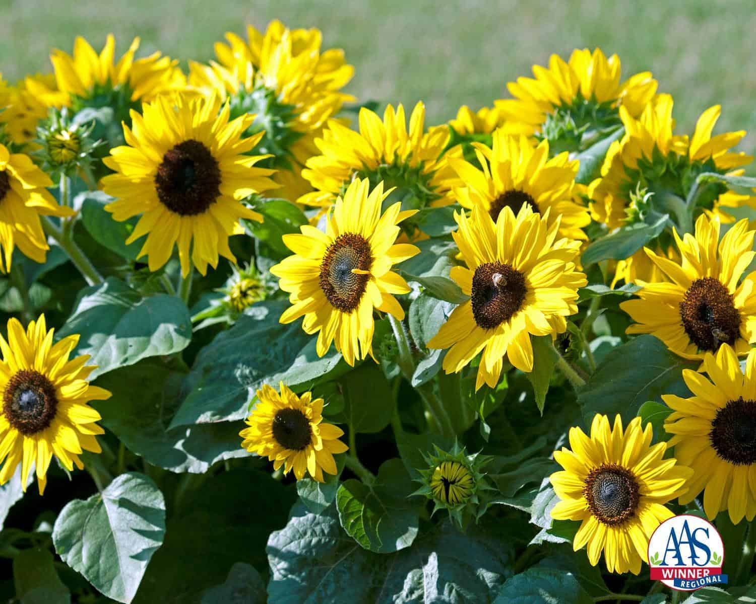 Sunflower_Suntastic Logo 5