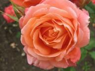 Rose Roletta Foto Brandt