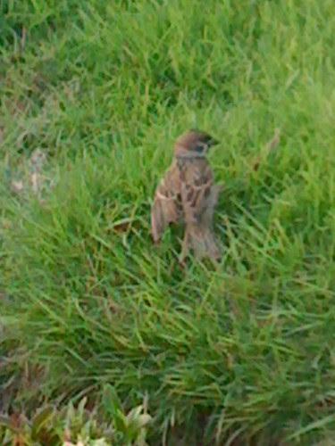 Burung ciak mandi rumput