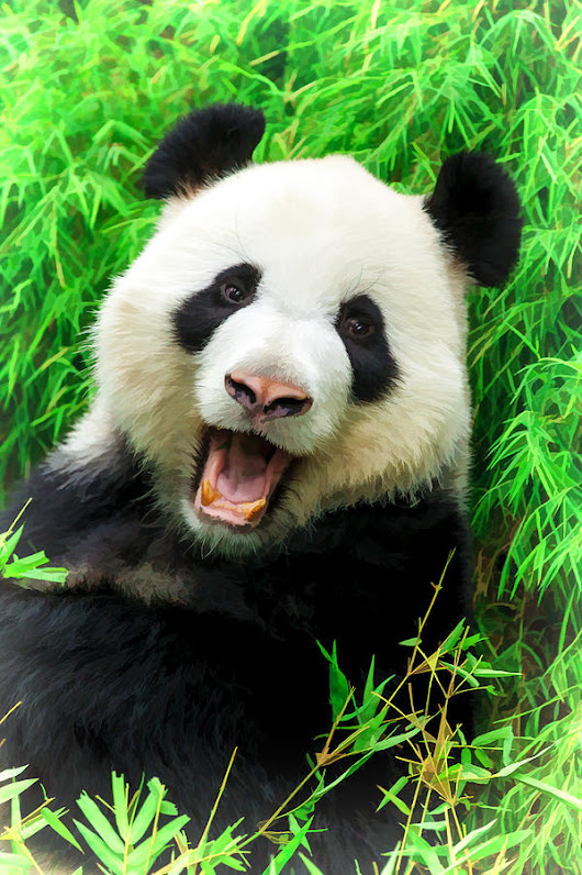 Giant Panda Laughing by Ray Shiu