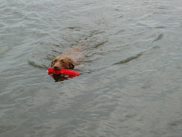My favorite thing! Swim and retrieve!