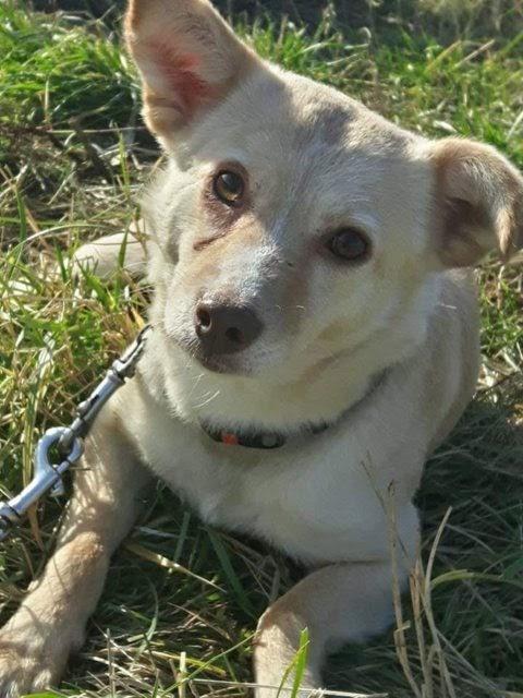 Mirabel – 7-8 year old female Terrier Cross