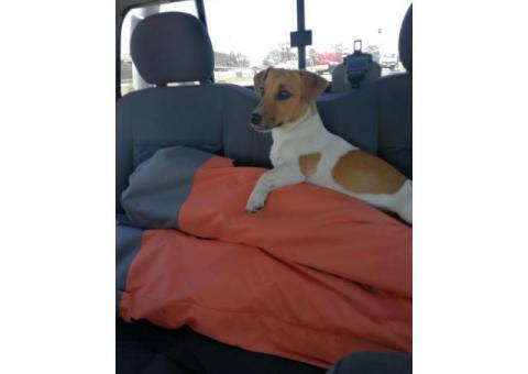 Jack Russel male Primrose - Lost Dogs in South Africa