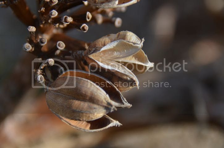 photo AnzaBoseedpods_zpsfa06fa6f.jpg