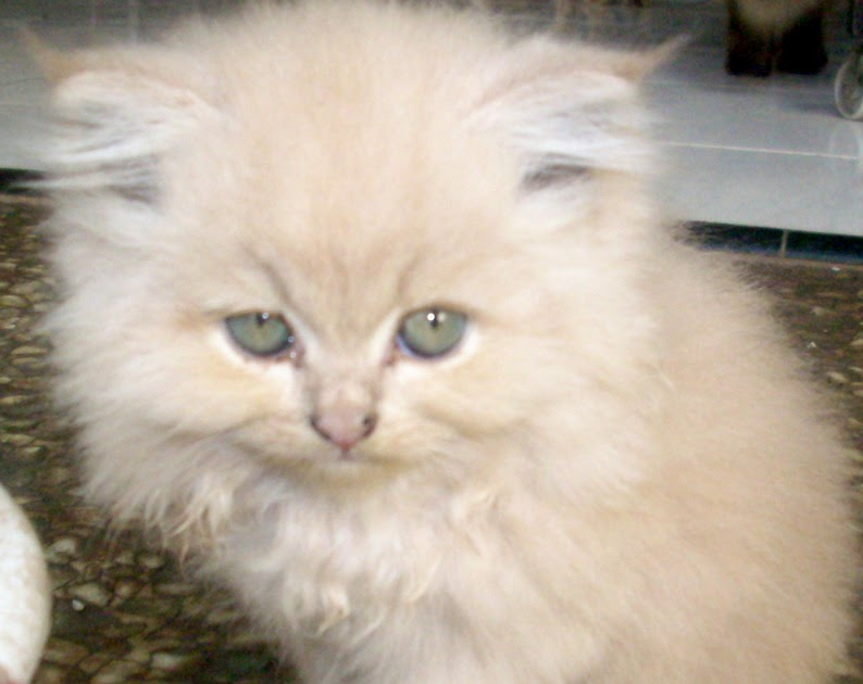 Kucing Betina Persia Flauschige Katzen