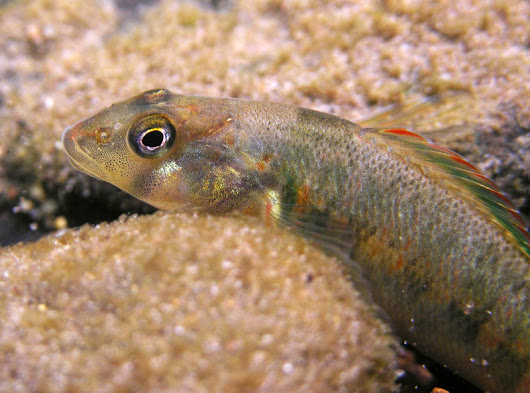 Two Southeast Freshwater Fish Proposed for Endangered Species Act Protection