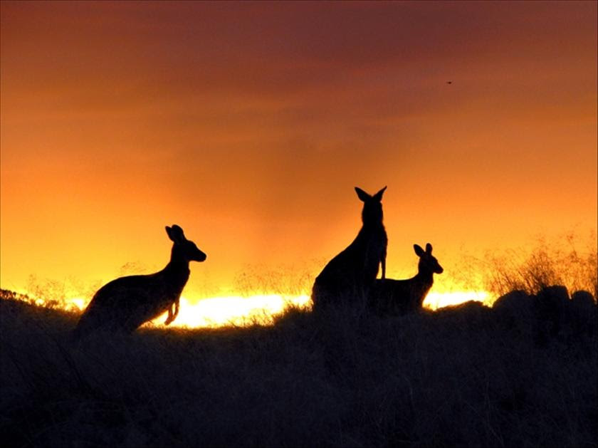 Another of Anne's great photos features kangaroos in front of an autumnal sunset. (Anne Rosenzweig)