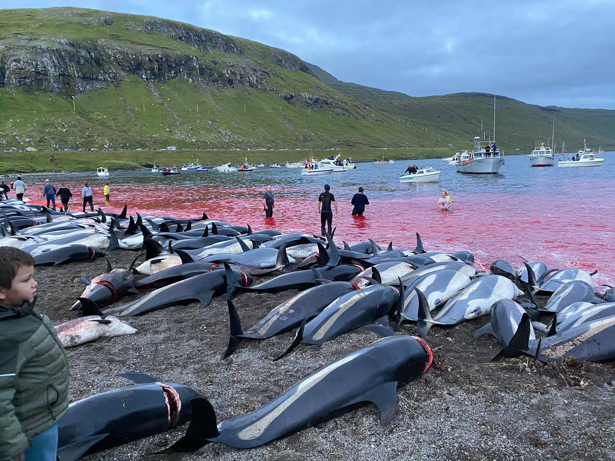 More than 1,400 dolphins killed in Faroe Islands hunt, stirring fresh anger over old tradition