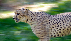 This cheetah picture from flickr is from Don Van Dyke and has the nc-nd-2.0 license.