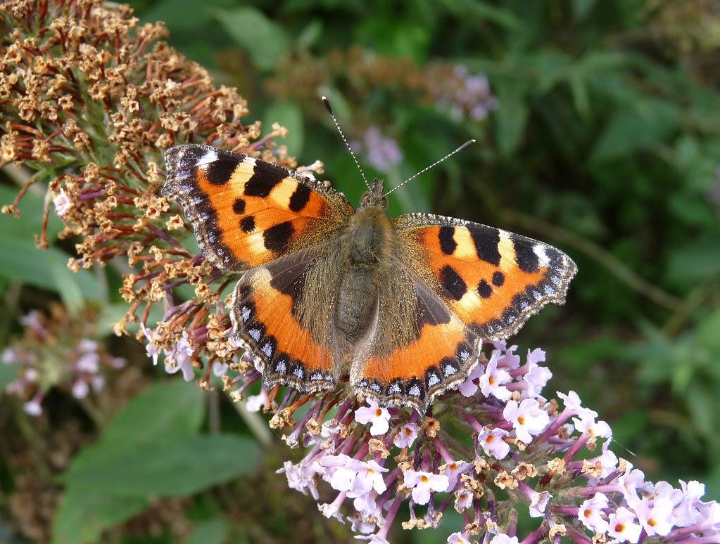 22284 - Small Tortoiseshell Butterfly