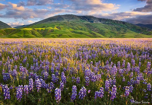 The Land of Lupine - Central California por Steve Sieren • ScenicPhotoWorkshops.com
